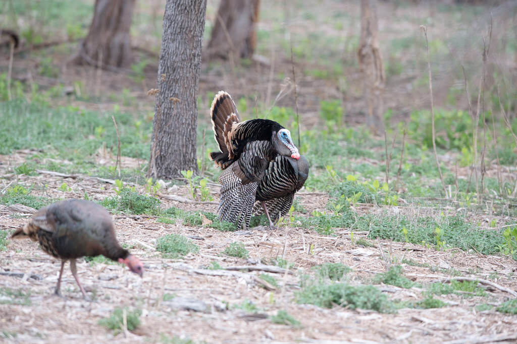 turkey-hunting