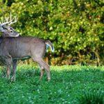 deer clover